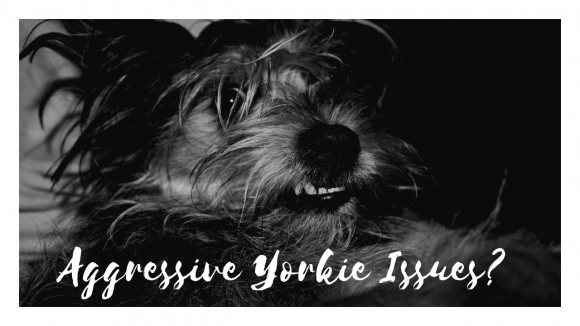 Aggressive Yorkie? Here's the Fix