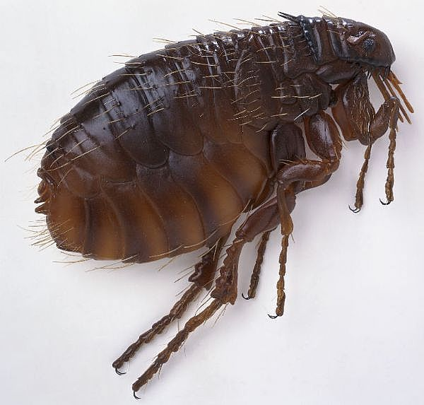 Fleas; Your Dog's Arch Enemy - TheDogTrainingSecret.com