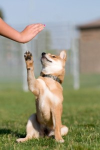 Puppy giving high five