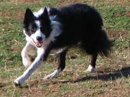 how to keep a border collie entertained while at work