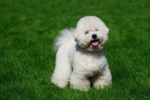 bichons don't shed much