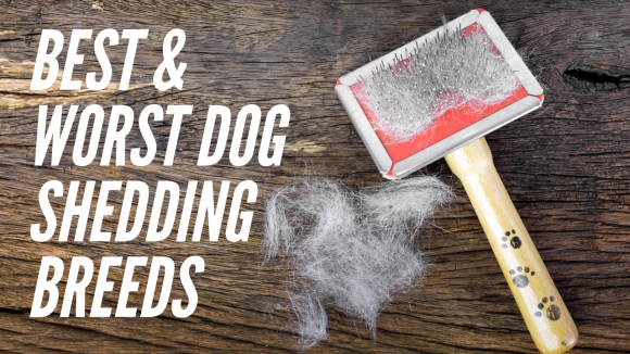 Dog Breeds That Shed the Least…and the Most