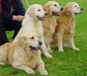 golden retriever training, puppy training