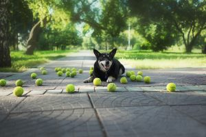 dog with lots of tennis balls