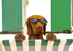 Dog With Sun Glasses