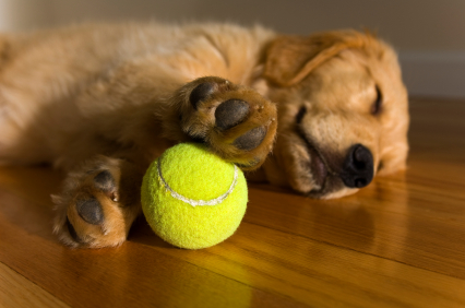 Puppy With Tennis Ball, Puppy Training, Golden Retriever Training  Why Is There Fuzz On A Tennis Ball