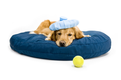 Dog With Tennis Ball, puppy training, golden retriever training
