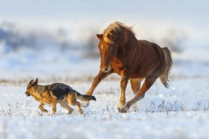 german shepherds work well around horses