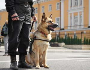 german shepherd working police dog