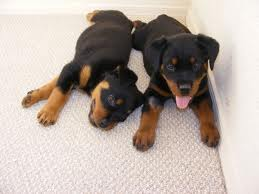 puppy training, rottweiler training