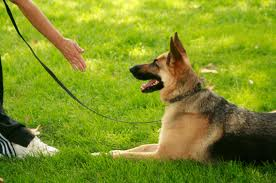 german shepherd training, puppy training