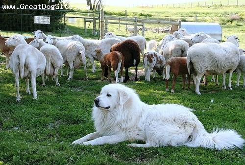 Working Great Pyrenees