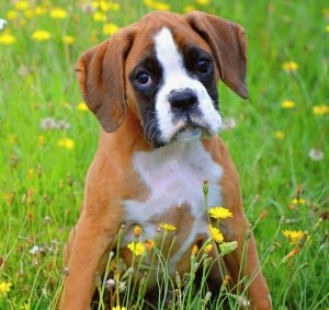 boxers love to play with children