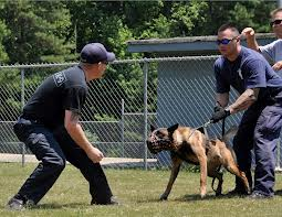 All police and military dogs get use to working in and wearing muzzles!