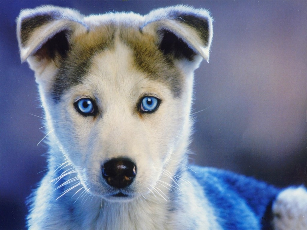 really cute baby husky puppies amazing wallpapers