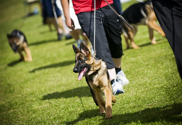 puppy training, german shepherd training