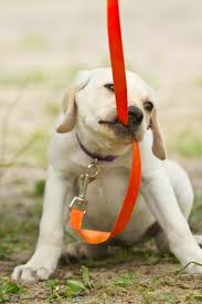 puppy training, labrador training