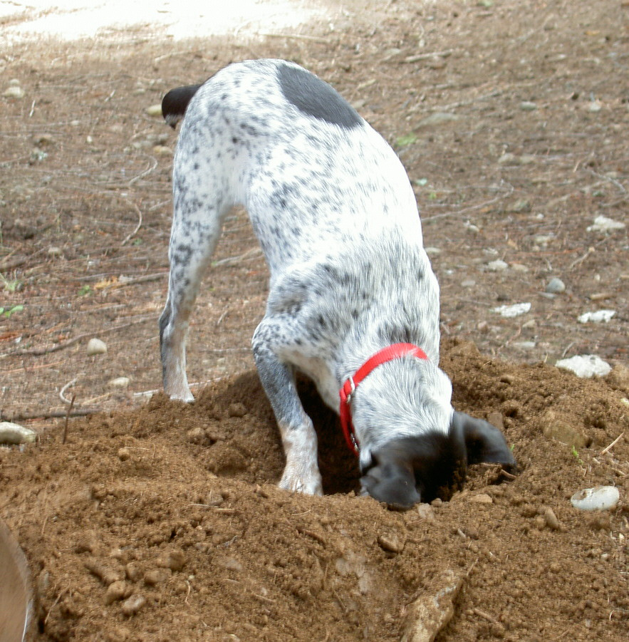 Digging Dogs Training