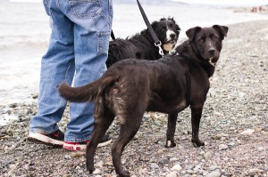 Dogs at the Beach, Littermate Puppies, Keep the Tail Wagging