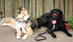 2 Service Dogs doing a Down Stay at the Denver Zoo
