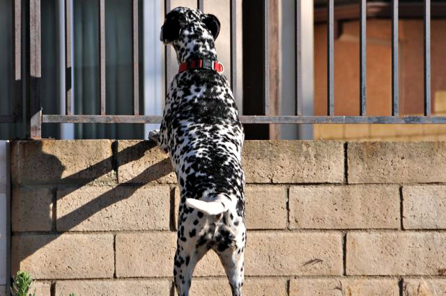 Fence Fighting can be a Bad and Dangerous Behavior Thanks Twinkie Tiny Dog for the photo