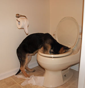 potty training a min pin, how to potty train a dog, how to potty train yourself