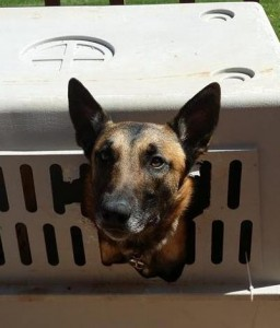 german shepherd training, puppy training, crate training