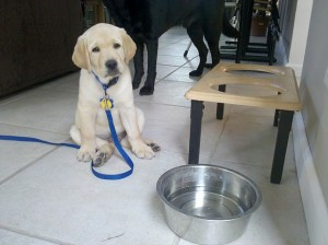 Start Training at Home  Thank You Guide Dog Training for the Photo
