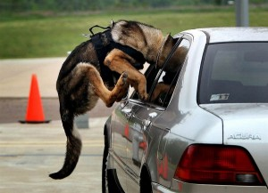 Police Dog Showing His Athleticism
