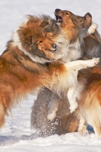 Collie dogs in snow