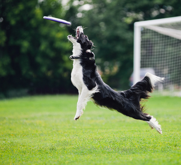 flying Frisbee dog catching disc in jump