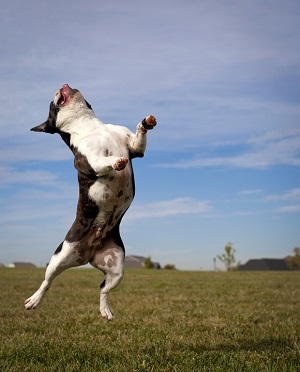 Leaping French bulldog in mid air with tongue out