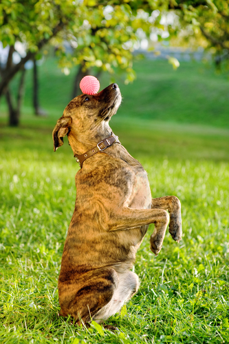 Mixed breed dog balancing ball on nose