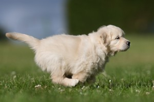 puppy training, how to train your dog to come