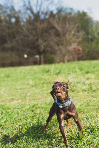 cute russian toy terrier dog bark and look to camera