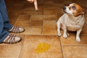potty pads, how to train your puppy to pee on a pad