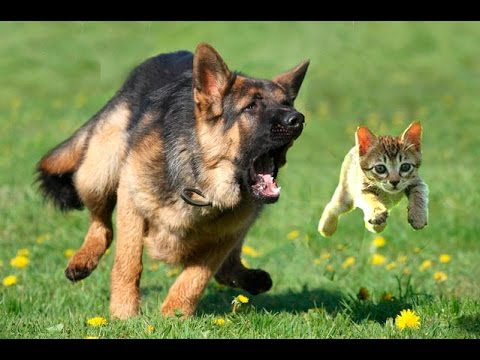 Does Your Dog Chase Your Cat?
