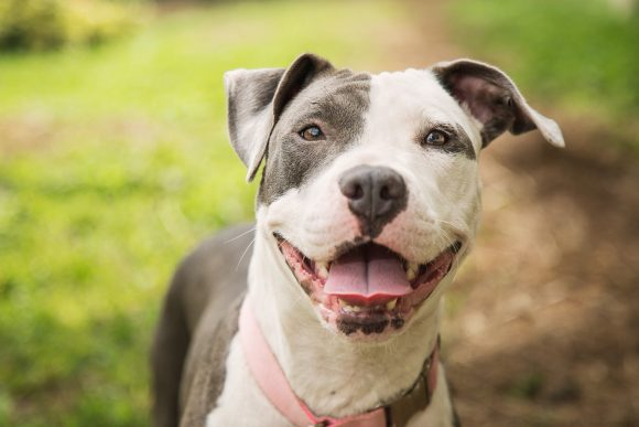 Pit Bull Training – 9 Tips for Success