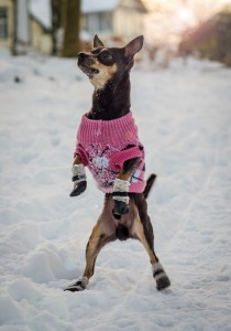 Fashionable pincher dog in winter season