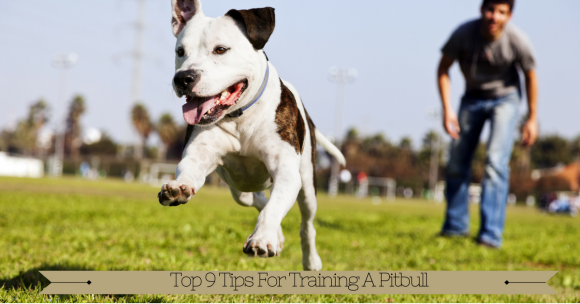 Top 9 Tips For Training A Pit Bull