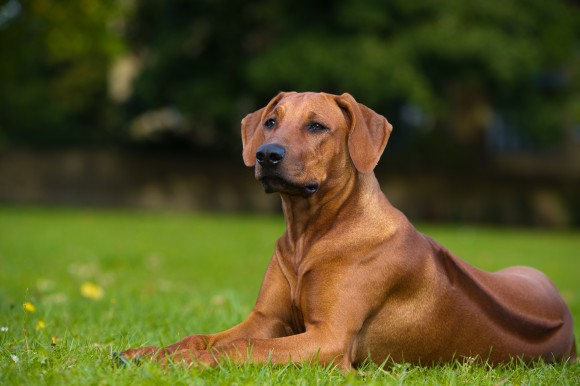 puppy training, ridgeback training
