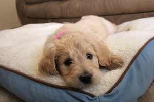 goldendoodle training