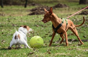 Dog Aggression, possession aggression in dogs