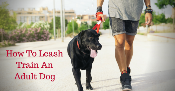 How To Leash Train An Adult Dog