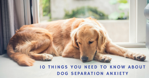 10 Things You Need to Know About Dog Separation Anxiety