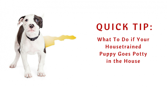 What To Do if Your Housetrained Puppy Goes Potty in the House