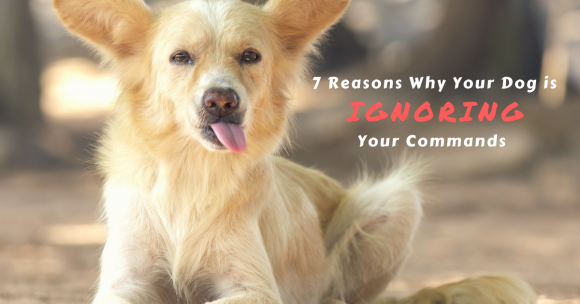 7 Reasons Why Your Dog Is Ignoring Your Commands Thedogtrainingsecret Com