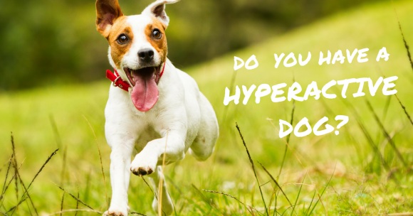 Do You Have a Hyperactive Dog?