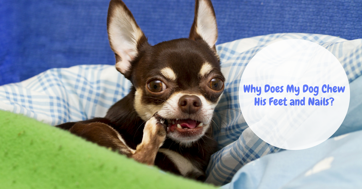Dog Chewing Feet – The Causes, Treatment, and How to Stop It -  TheDogTrainingSecret.com - TheDogTrainingSecret.com