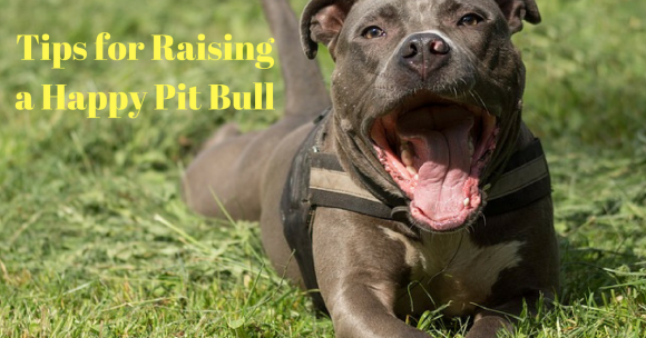 Tips for Raising a Happy Pit Bull